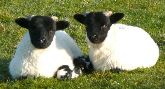 Twin blackface lambs at Blarghour