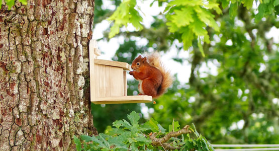 Red Squirrel at feeder by Barn & Stable cottages