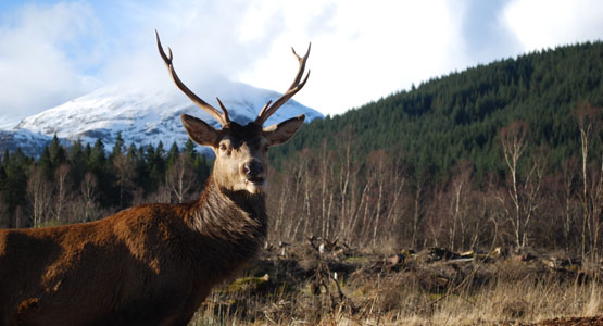 Red Stag in Glen Etive