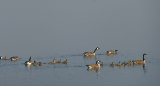 Canada Geese and young on Loch Awe