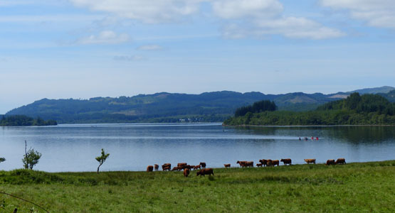 Cattle grazing by Loch Awe at Barr-beithe