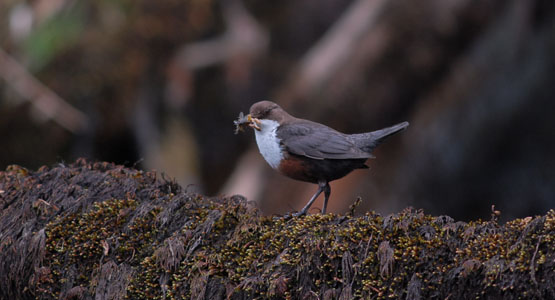 Dipper on Allt Beochlich at Barr-beithe