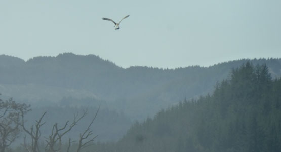Osprey with fish over Loch Awe