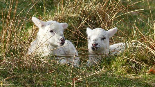 lambs, grass, field