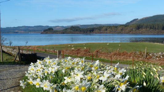 Daffodils, sheep, Loch Awe, trees, scottish loch, single track road, stone wall