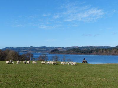 sheep, lambs, quad bike, field, breakfast, Loch Awe, scottish loch, hills
