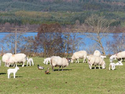ducks, sheep, lcoh awe, scottish loch, field