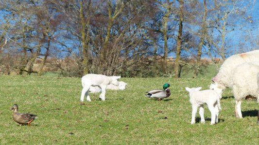 Sheep, lambs, ducks, Loch Awe