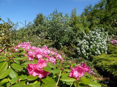 azaleas in bloom, apple trees in bloom in a cottage garden