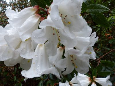 A close up shot of a flower at Arduaine Garden