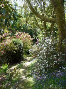 path, azaleas in bloom
