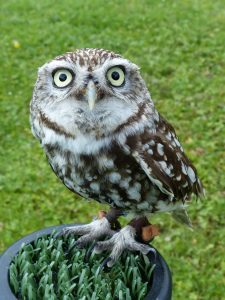 A little owl called Digger on it's perch in a garden