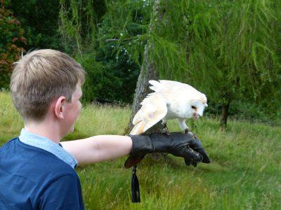 Barn owl on gloved hand